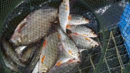 ryby w siatce