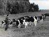 1980-rok-gospodarstwo-w-gronitach-wypas-mlodego-bydla